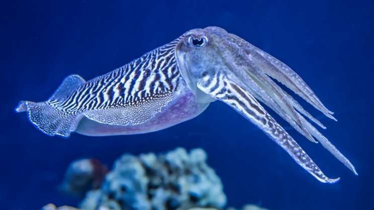 Cuttlefish Pass the Marshmallow Test by Exerting Self-Control
