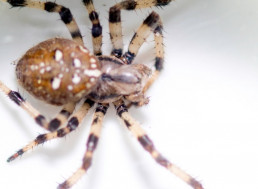 Deadly Spider Venom Could Save Heart Attack Victims