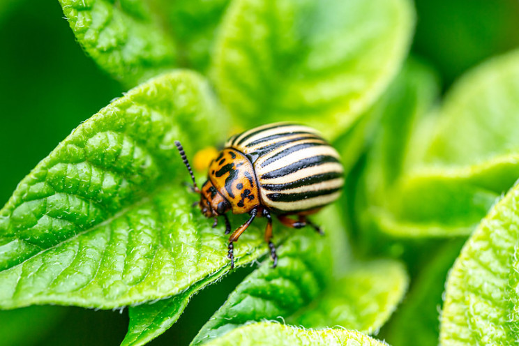 Man Creates Device to Sweep Colorado Beetles Off of His Crop