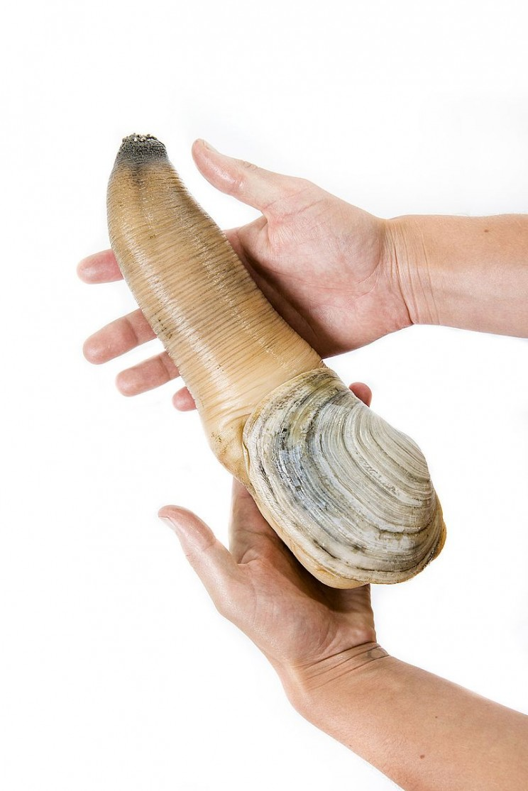 animals youve never heard of geoduck