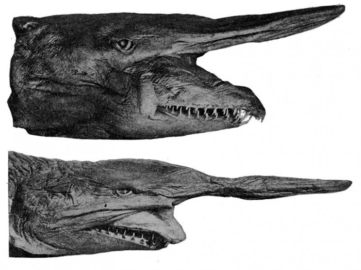 animals youve never heard of goblin shark