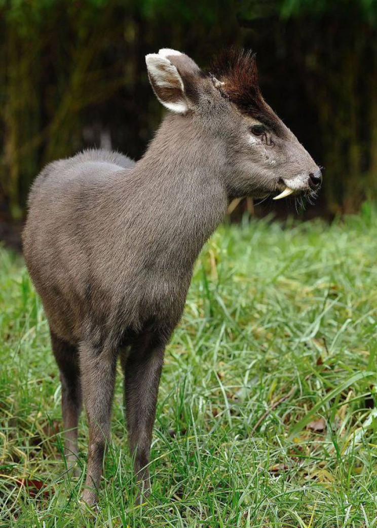 animals youve never heard of tufted deer