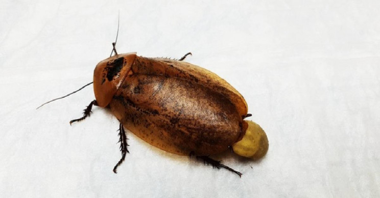 Russian Vets Operate on Pet Cockroach After Complicated Pregnancy