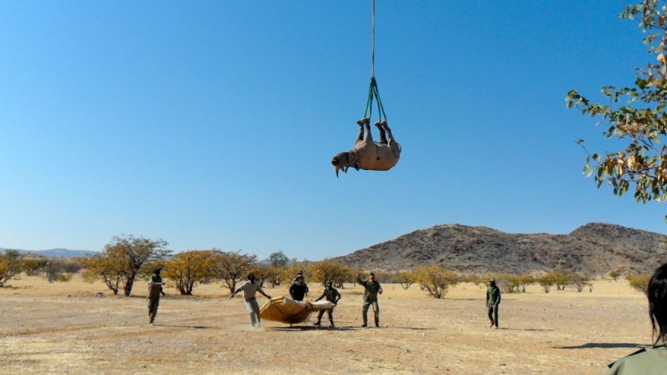 Hanging Rhinos Upside Down May Be Best Way to Transport Them