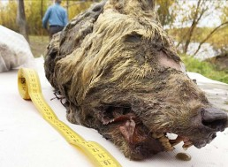 Giant 40,000 Year Old Wolf Head Found in Siberia