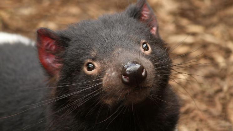 First Tasmanian Devils Born on Mainland Australia After 3,000 Years