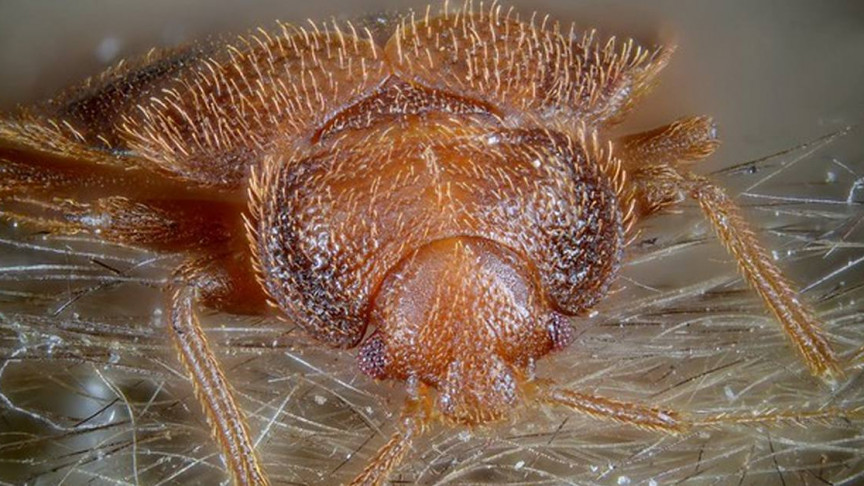 In Bed with the Enemy: A Quick Look at Bed Bugs
