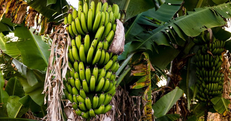 Colombia Declares National Emergency Over Devastating Banana Fungus