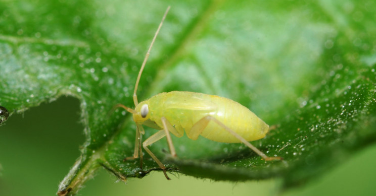 The Very Strange Science of Aphids