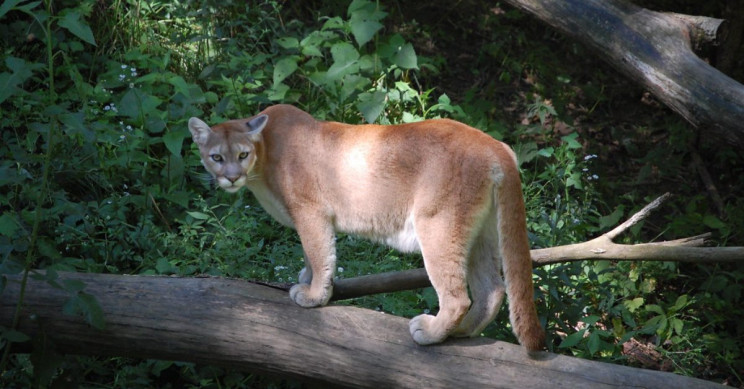 Study Links Coastal Fog with High Levels of Mercury in Mountain Lions