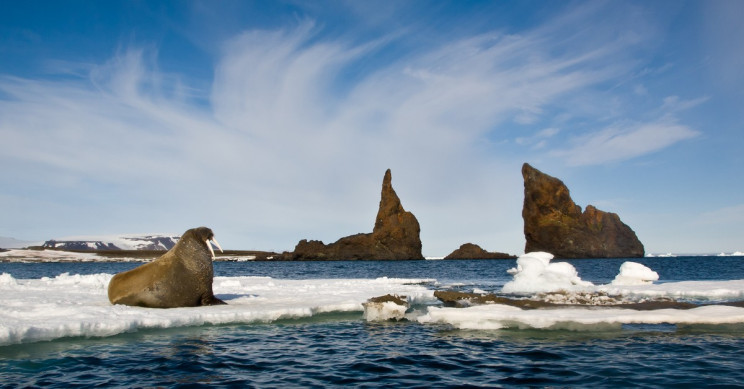 Female Walrus Attacks and Sinks Russian Navy Raft on Arctic Expedition