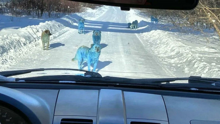 Blue Dogs Spotted in Russia Likely Dyed by Toxic Compounds