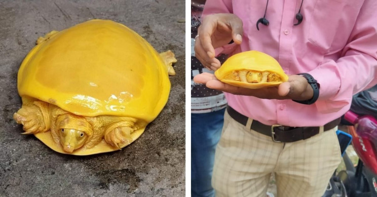 Ridiculously Bright Yellow Turtle Discovered in India