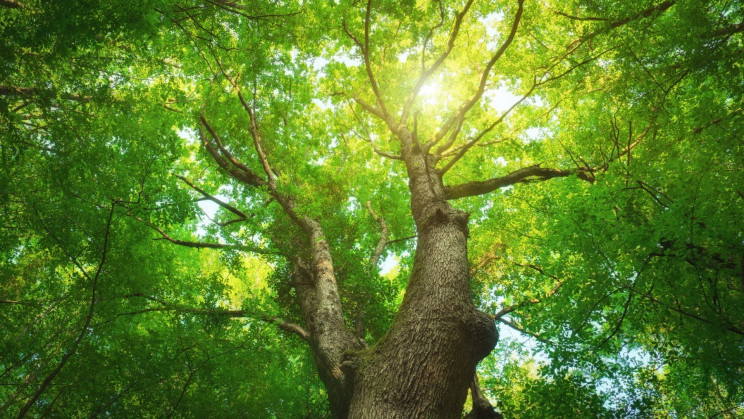 Genetically Engineered 'Supertrees' Capture More Carbon