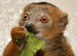Got an Old Android Laying Around? Donate It to Help Lemur Research