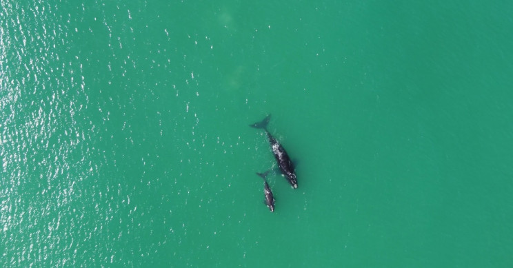 Weighing whales isn't easy, but drones are helping