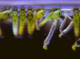 In a World-First, Genetically Modified Mosquitoes Are Hatching in the US
