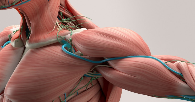 Researchers Work on Artificial Muscles That Lift 650 Times Their Weight