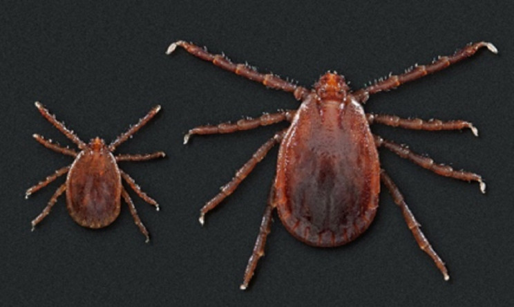 Blood Sucking Ticks Blamed for the Death of Five Cows