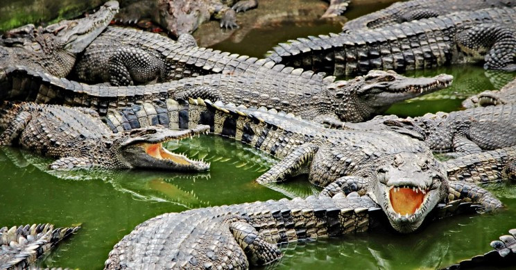 Researchers Are Mesmerized by How Low Oxygen Builds Stronger Hearts in Alligators