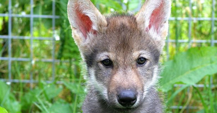 Scientists Discover that Wolf Pups Play Fetch Too
