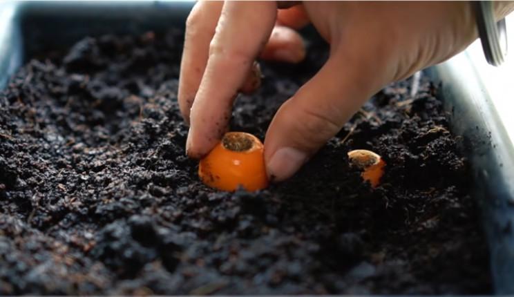 Carrot stems