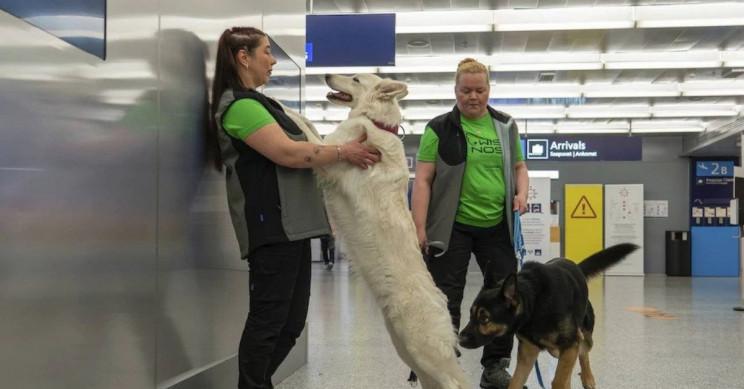Sniffing Dogs Will Help Detect Coronavirus at Helsinki Airport