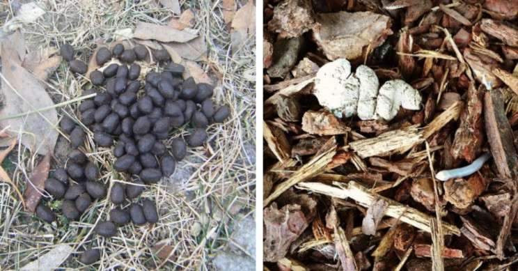 7 Animals to Identify by Their Characteristic Poop