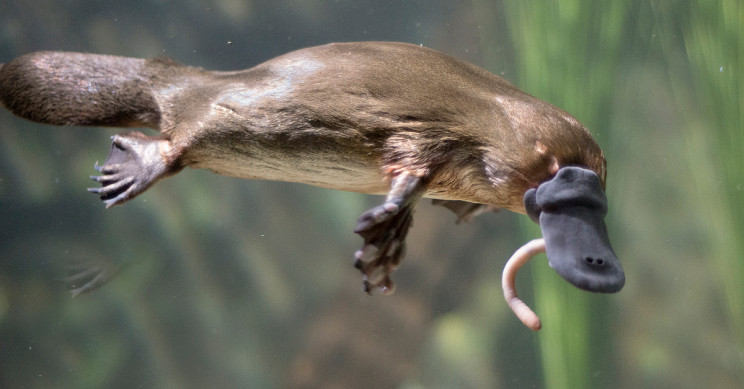 Researchers Explain Why and How Platypus Are So Weird