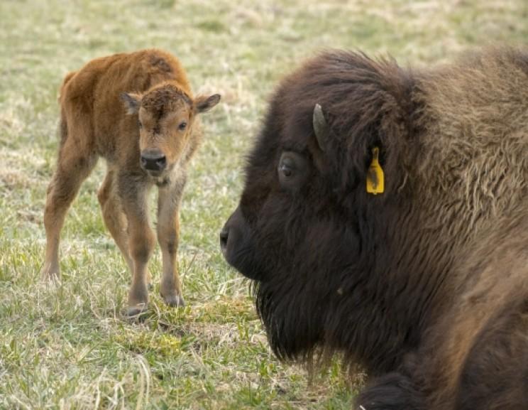 First 2018 Fermilab bison
