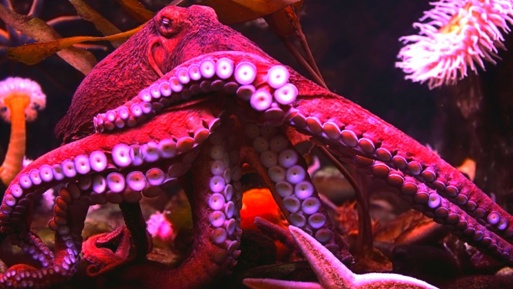 Do Octopuses Have Dreams? They Might, and Undergo Frenzied Shifts in Color