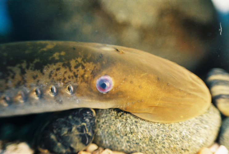 good news lamprey