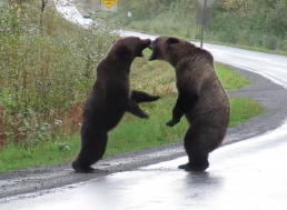 Watch Incredible, Rare Footage of Two Grizzly Bears Fighting