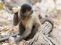 Evidence of Capuchin Monkey's Tool Evolution Discovered in Brazil