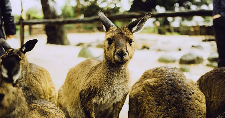 Kangaroos Can 'Talk' to Humans With Unique Gaze, Just Like Dogs, Says Study