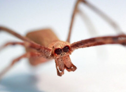 Ogre-Faced Spiders Can 'Hear' Without Ears, Study Says