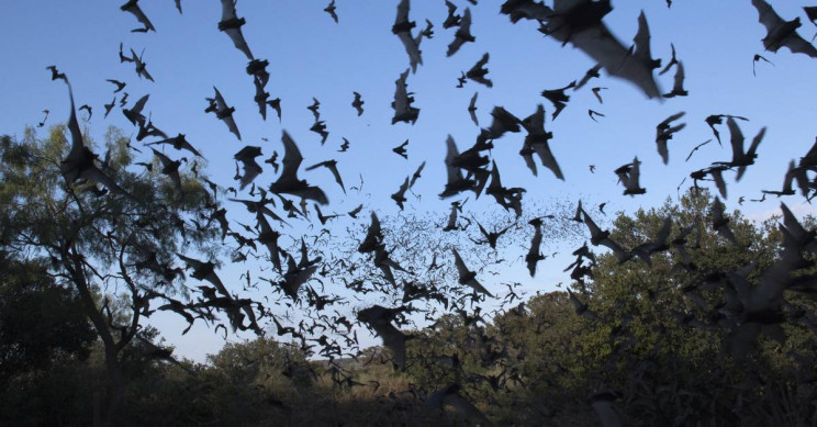 It Turns out Vampire Bats Practice Social Distancing Too