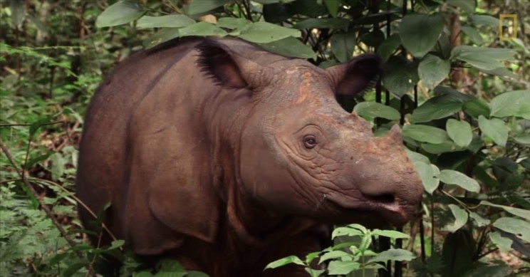 The Last Male Sumatran Rhino in the World Has Died in Captivity