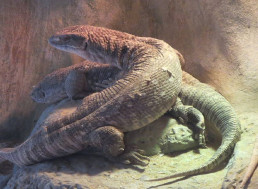 Savannah Monitor Lizards Have Mammal and Bird-Hybrid System for Breathing