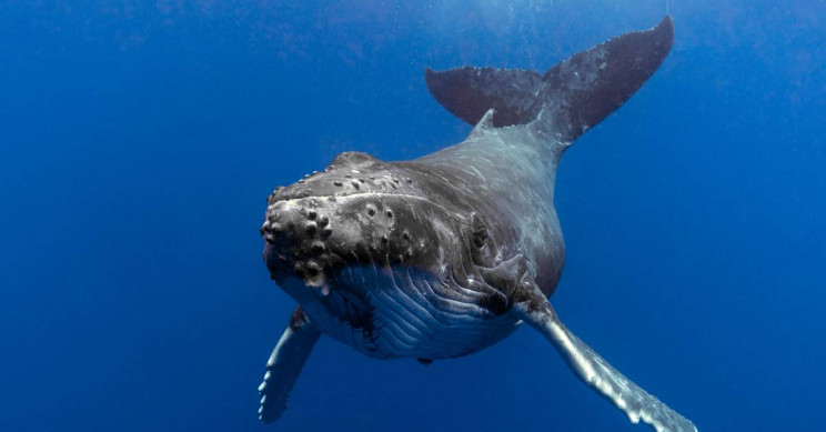 Humpback Whale Escapes Near Extinction With Population Growing From 450 to 25,000