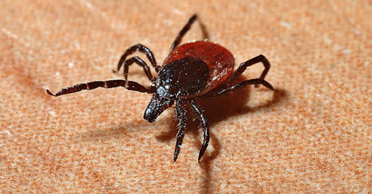 Infected Ticks Can Carry Lyme Disease