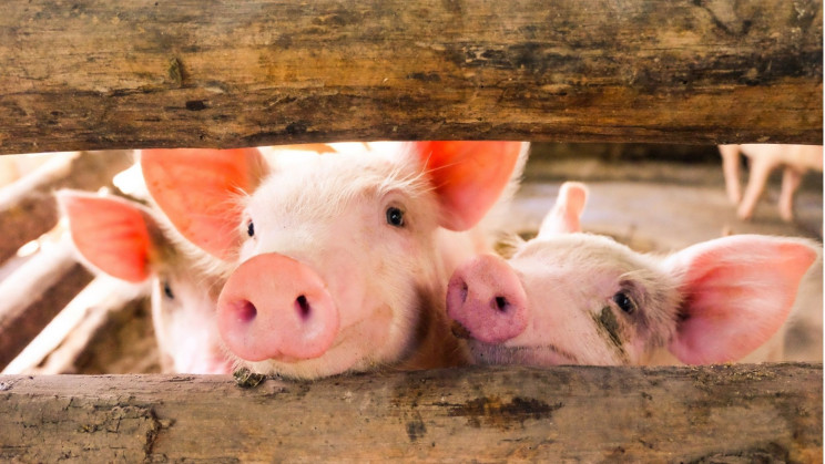 Huawei Pivots to Pig Farming Tech as Smartphone Sales Nosedive