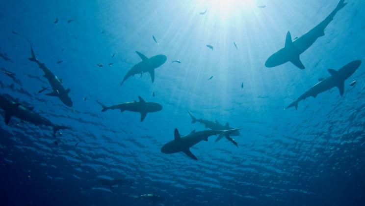 Mystery Event Drove Sharks to Near Extinction 19 Million Years Ago