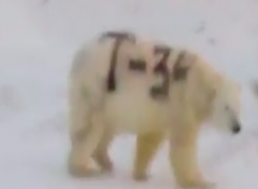Russian Polar Bear Was Spray-Painted, Now Experts Fear It May Not be Able to Hunt