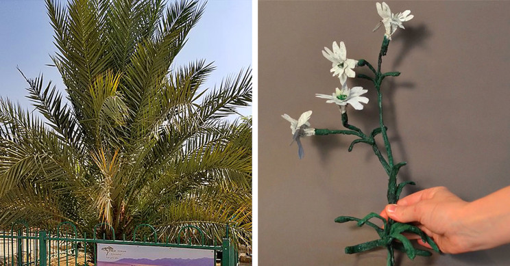 Ancient Date Palm and Arctic Flower Brought Back from the Dead