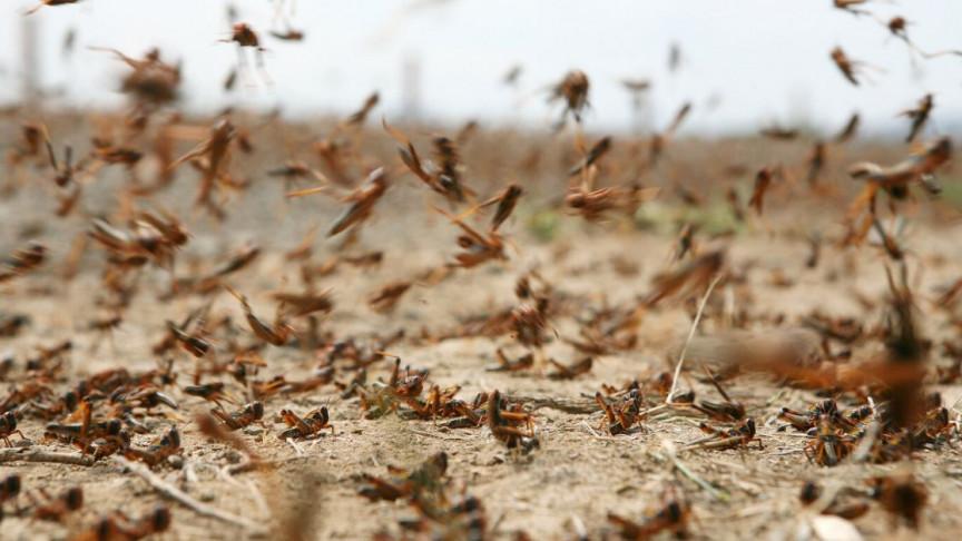 plague like locust swarm sweeps saudia arabia east africa asia 1 md.'