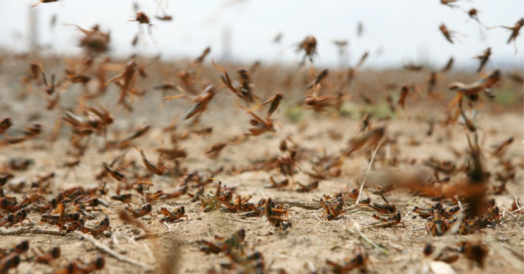 Plague-Like Locust Swarms Sweep Saudia Arabia, East Africa, Asia