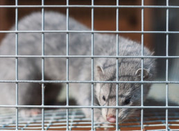 Denmark to Hunt Down 17 Million Mink After COVID-19 Mutation