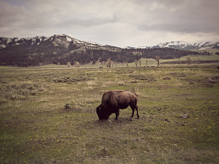 A brown bison grazes on grass with dark, snowy mountains in the background.