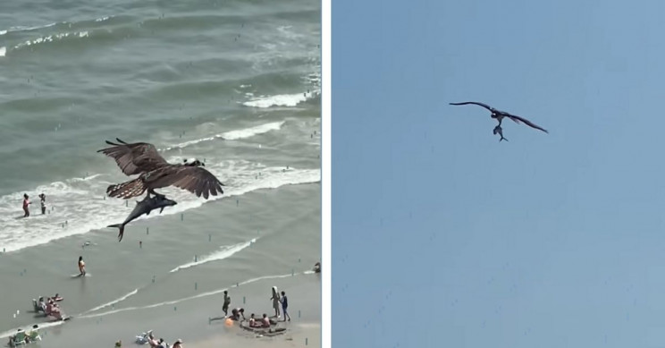 Mystery of the Hawk Taking Shark For a Ride Solved, Probably